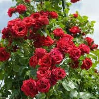 Саженцы плетистых роз