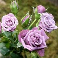 Саженцы роз спрей