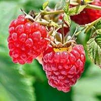 Саженцы плодовых кустарников