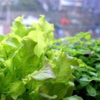 Семена салата и шпината