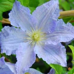 Клематис Blue Angel (Блю Ангел)