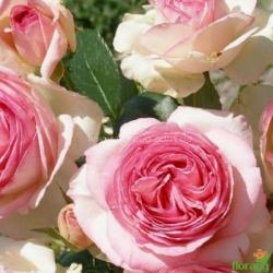 Роза Эден Роуз (Eden Rose) плетистая