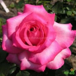 Роза Эсмеральда (Esmeralda)