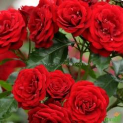 Роза Лаваглут (Lavaglut) спрей