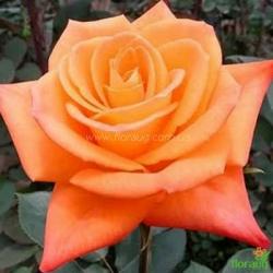 Роза Миракл (Miracle)