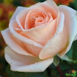 Роза Осиана (Osiana)
