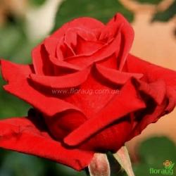 Роза Ред Берлин (Red Berlin)