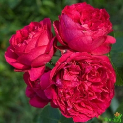 Роза Ред Эден Роуз (Red Eden Rose) плетистая
