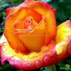 Роза Ред Голд (Red Gold)