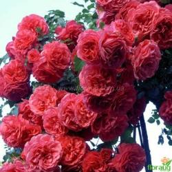 Роза Розариум Ютерсен (Rosarium Uetersen) плетистая