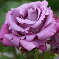 Роза Шарль де Голль (Charles de Gaulle)