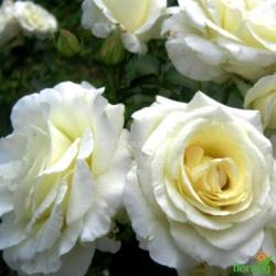 Роза Шнеевальцер (Schneewalzer) плетистая