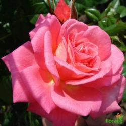 Роза Шогун (Shogun) плетистая