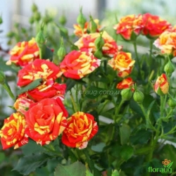 Роза Сорбе Фрюит (Sorbet Fruite) спрей