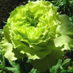 Роза Супер Грин (Super Green)