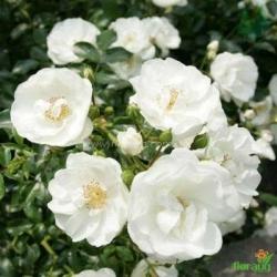 Роза Диамант (Diamant) почвопокровная