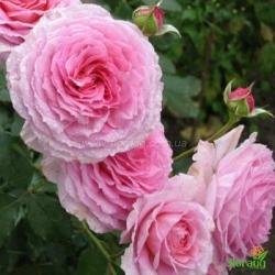 Роза Джеймс Гелвей (James Galway) английская