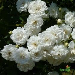Роза Гирлянд де Амур (Guirlande d'Amour) плетистая