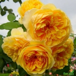 Роза Грэхем Томас (Graham Thomas) английская