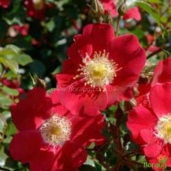 Роза Кандия Мейдиланд (Candia Meidiland) почвопокровная