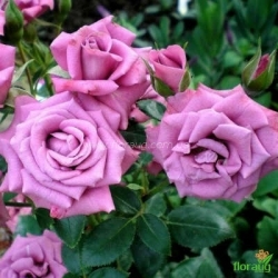 Роза Лавендер Джувел (Lavender Jewel)
