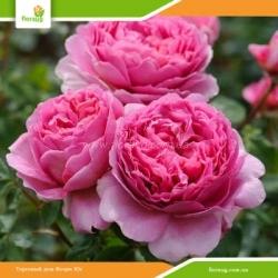Роза Принцесса Александра оф Кент (Princess Alexandra of Kent) английская