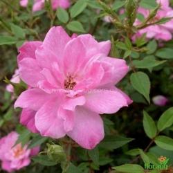 Роза Рулетти (Rouletii) миниатюрная
