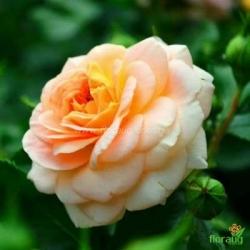 Роза Скарлет миниатюрная