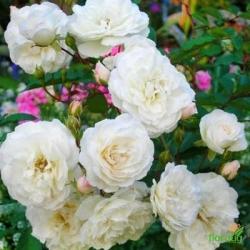 Роза Снежный шар миниатюрная