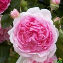 Роза Жасмина (Jasmina) плетистая