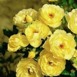 Роза Зоненширм (Sonnenschirm) почвопокровная