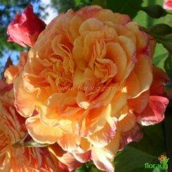 Роза Алоха (Aloha) плетистая