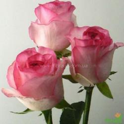 Роза Белла Вита (Bella Vita)