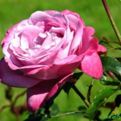 Роза Блю Ривер  (Blue River)