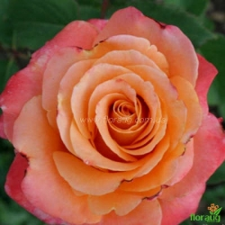 Роза Экзотика (Exotika)