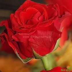 Роза Эль Торо (El Toro)