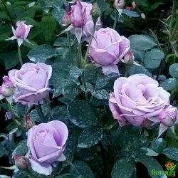 Роза Индиголетта (Indigoletta) плетистая
