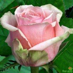 Роза Кинг Конг (King Kong)