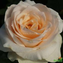 Роза Клер Оушен (Clear Ocean)