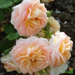 Роза Концерто 94 (Concerto 94) плетистая