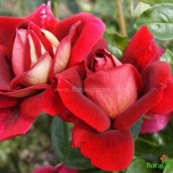 Роза Кроненбург (Kronenbourg)