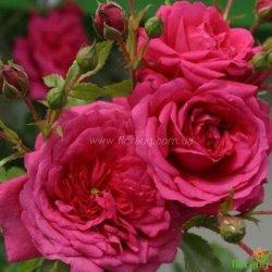 Роза Лагуна (Laguna) плетистая