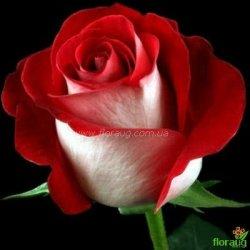 Роза Латин Леди (Latin Lady)