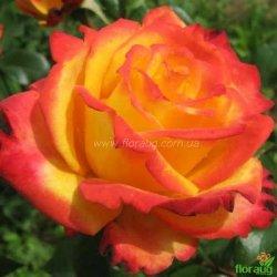 Роза Майн Мюнхен (Mein Muenchen)