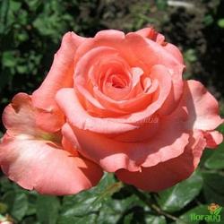Роза Нобилис (Nobilis)