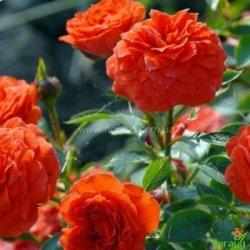 Роза Оранж Беби (Orange Babyflor) спрей