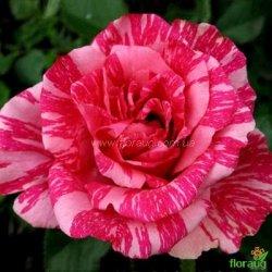 Роза Пинк Интуишн (Pink Intuition)