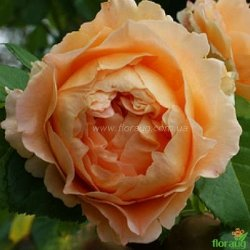 Роза Полька (Polka) плетистая