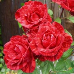 Роза Ред Интуишн (Red Intuition)