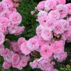 Роза Роял Боника (Royal Bonika) плетистая